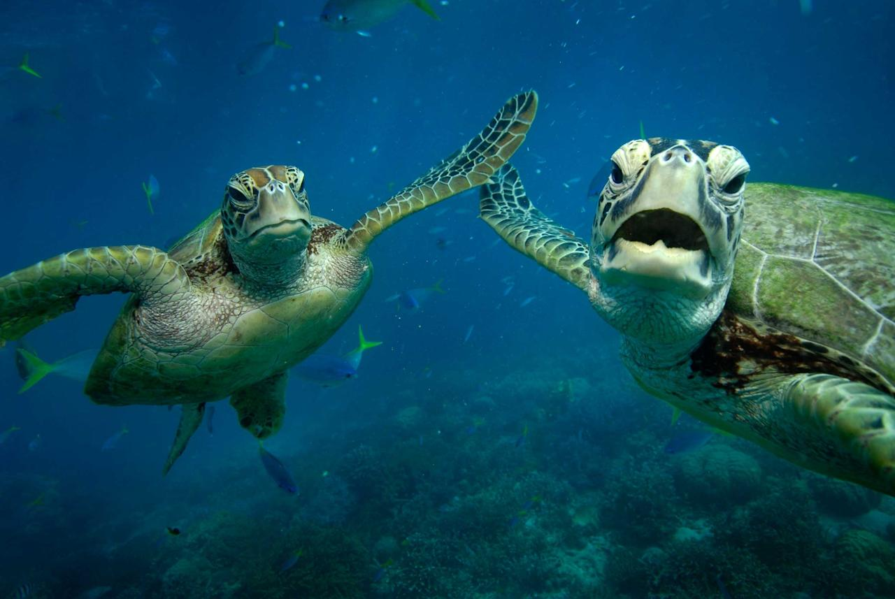 This is the amazing image of two turtles sharing a HIGH FIVE underwater. The two Green turtles sharing a special moment in the picture are Shelley and Casey. The photograph was taken by Australian snapper Troy Mayne ,39, at Moore Reef, on the Great barrier Reef. He has written a series of 20 books featuring the turtles and Wally the Maori Wrasse (Caters)