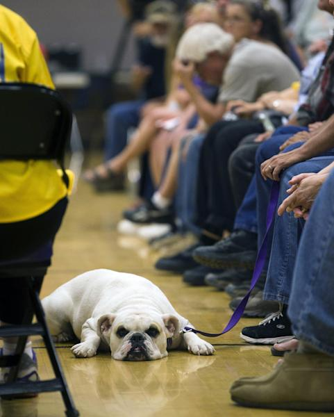 Payton, a 3 year-old English bulldog, lays on the floor at the Red Cross Shelter during a community meeting for Yarnell Hill Fire evacuees at the Red Cross Shelter in Wickenburg, Ariz. on Saturday, July 6, 2013. Nineteen Granite Mountain Hotshot firefighters were killed by the out-of-control blaze near Yarnell, Ariz. on June 30. (AP Photo/The Arizona Republic, Michael Chow)