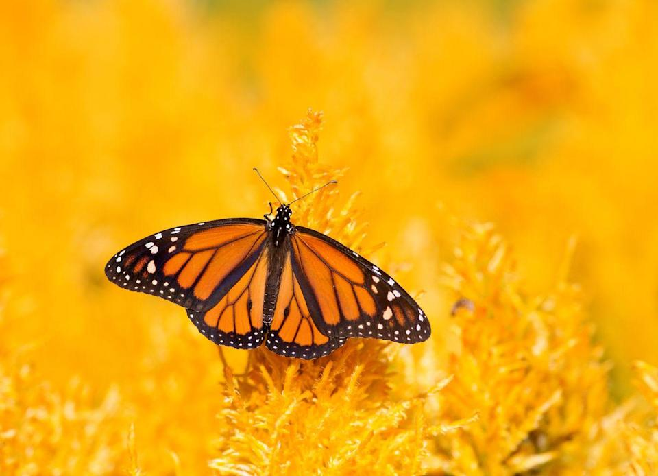 <p><strong>Monarch Butterfly<br><br></strong>The Land of 10,000 Lakes picked the monarch to rule its insect kingdom in 2000. </p>