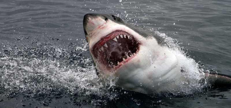 A great white shark with jaws open breaching the water.