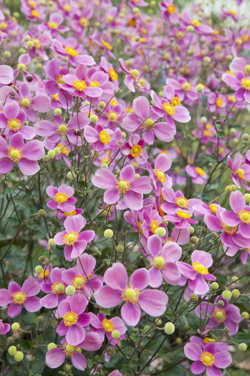 """<p>With a long blooming season, white, pink, and purple <a href=""""http://www.costafarms.com/plants/japanese-anemone"""" rel=""""nofollow noopener"""" target=""""_blank"""" data-ylk=""""slk:anemones"""" class=""""link rapid-noclick-resp"""">anemones</a> make a colorful impact well into the fall season. A member of the buttercup family, Japanese anemone prefers shady spots and moist soil.</p><p><strong>When it blooms: </strong>Late July to October</p><p><strong>Where to plant:</strong> Partial shade</p><p><strong>When to plant: </strong>Spring, after last frost, through fall</p><p><strong>USDA Hardiness Zones:</strong> 4 to 7</p>"""