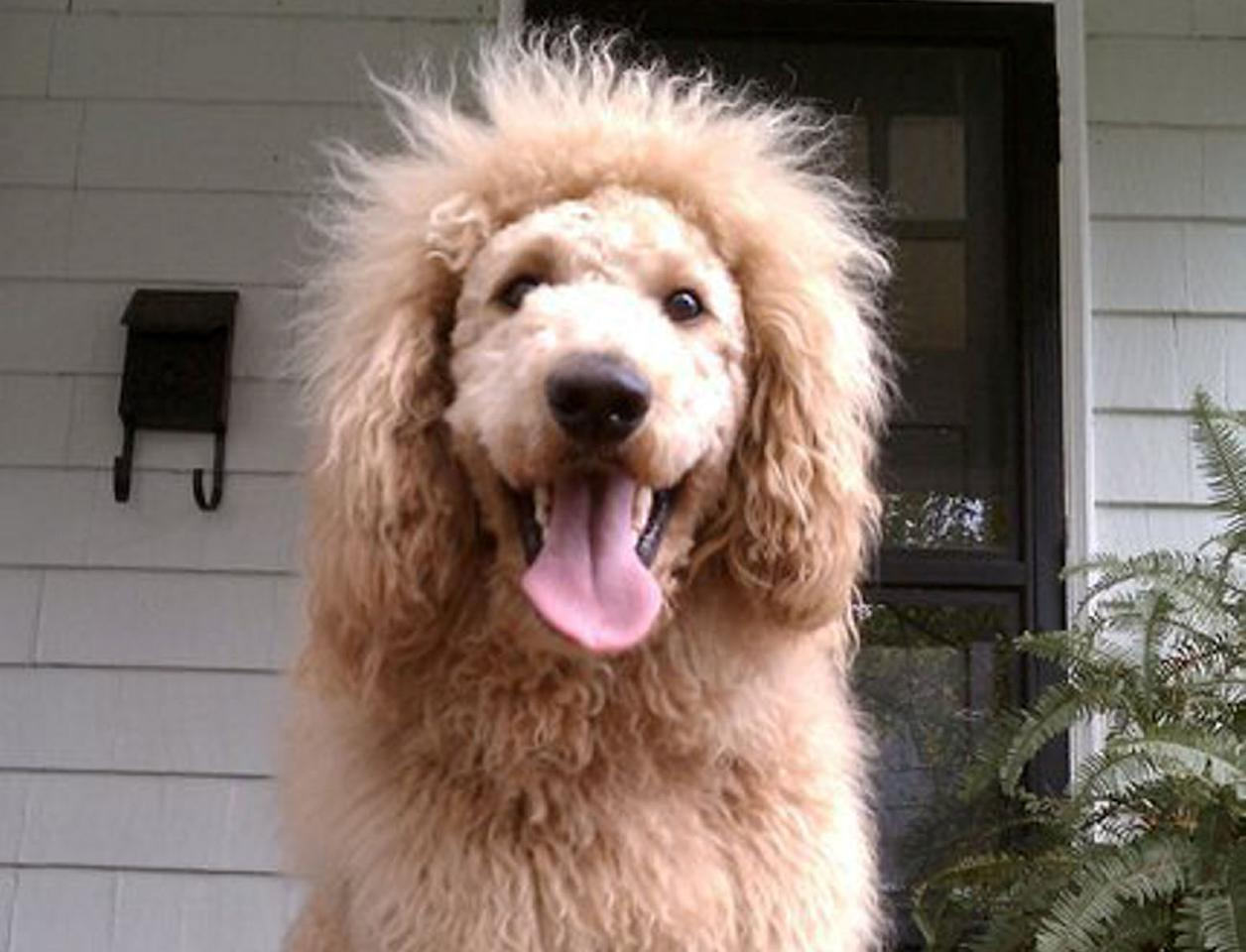 A 'lion' caused panic in Virginia, America. When police investigated it turned out to be 'Charles the Monarch' - a labradoodle (SWNS)