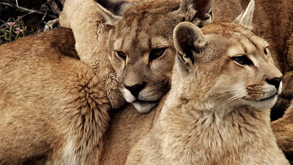 <b>Mountain Lion</b> (Puma concolor)<br>Torres del Paine National Park, Chile<br><br>In a single bound, mountain lions can leap 40 feet forward and higher than a basketball hoop, making them the strongest jumpers of all big cat species.