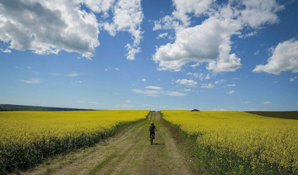 A cyclist rides between two bright-yellow canola fields.