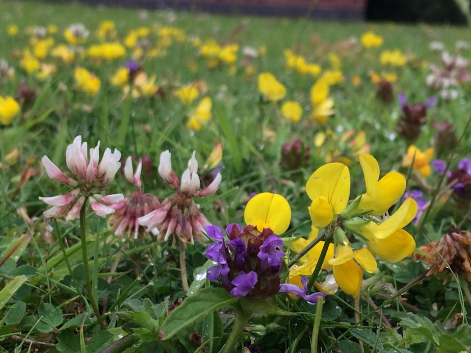 Bird's-foot trefoil, selfheal and clover can help make a lawn more drought resistant (Trevor Dines/Plantlife/PA)