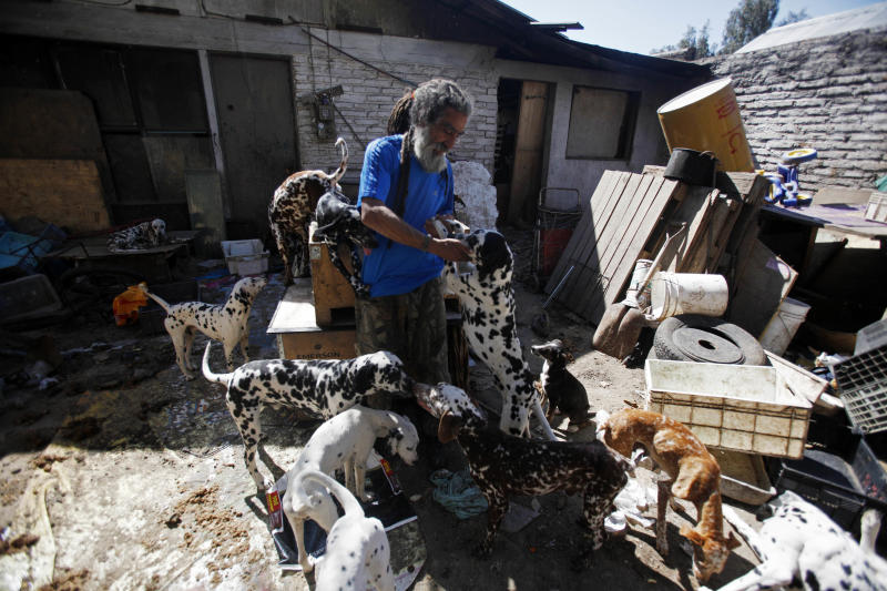 In this Oct. 7, 2013 photo, Nestor Vergara, 55, pets one of his 42 Dalmatians in the backyard of his modest home, in Padre Hurtado, a town on the outskirts of Santiago, Chile. His neighbors constantly complain about the foul smell coming from his yard, and municipal officials have threatened to evict him by the end of the month. Vergara says he only wants to set an example and raise consciousness so other Chileans can help in saving the growing number of stray dogs. (AP Photo/Luis Hidalgo)