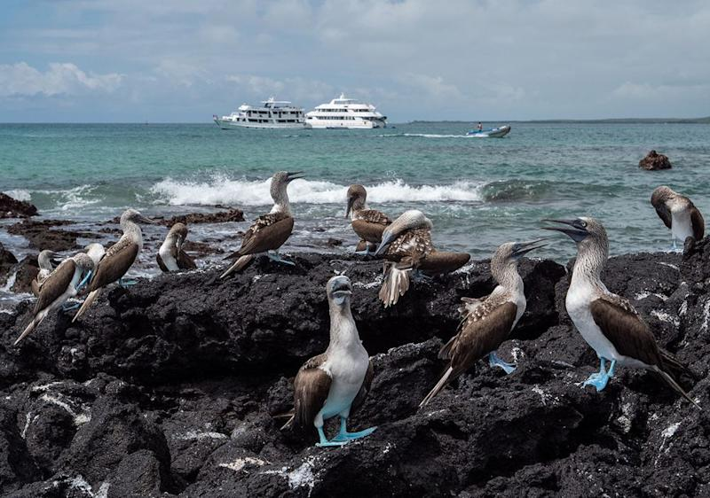 Blue-footed boobies | Chris J Ratcliffe/Getty