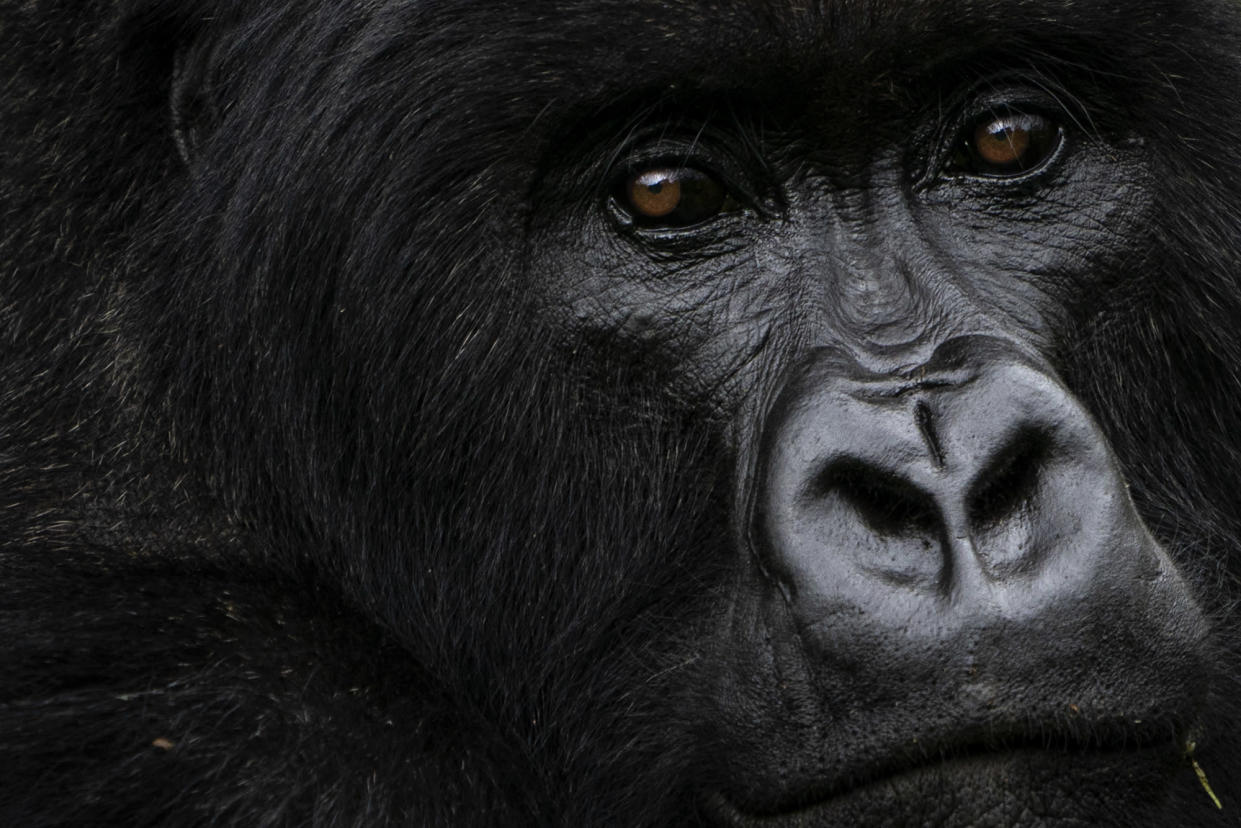 A silverback mountain gorilla called Pato sits in Volcanoes National Park, Rwanda. (Photo: Felipe Dana/AP)