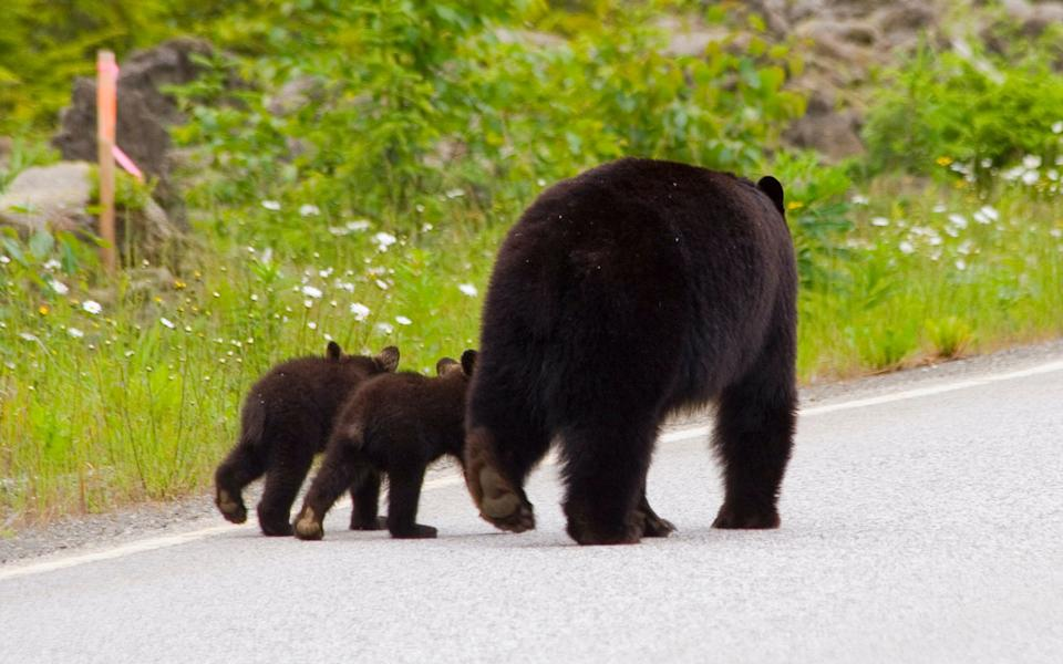Pictured in this file picture is an adult bear with two bear cubs walking along a road.