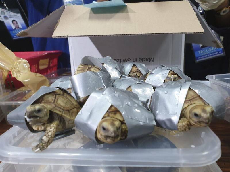 In this March 3, 2019, handout photo provided by the Bureau of Customs Public Information Office, duct taped turtles are presented to reporters in Manila, Philippines. Philippine authorities said that they found more than 1,500 live exotic turtles stuffed inside luggage at Manila's airport. The various types of turtles were found Sunday inside four pieces of left-behind luggage of a Filipino passenger arriving at Ninoy Aquino International Airport on a Philippine Airlines flight from Hong Kong, Customs officials said in a statement. (Bureau of Customs via AP)