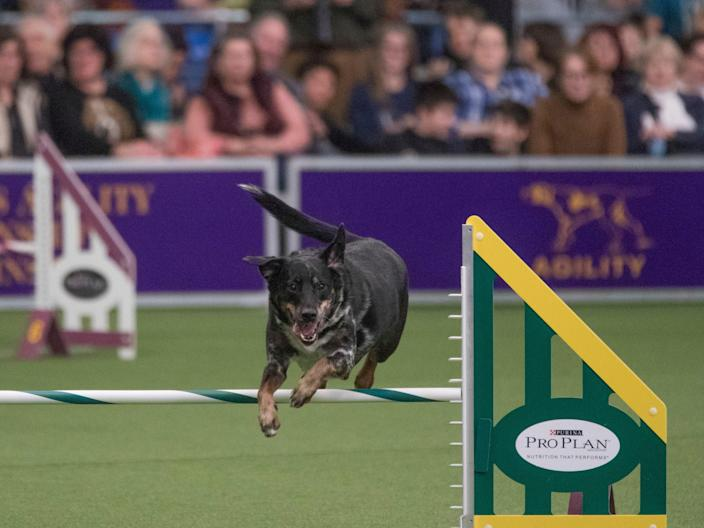 Lonnie, a female mixed breed from New Jersey, competes in the agility event.