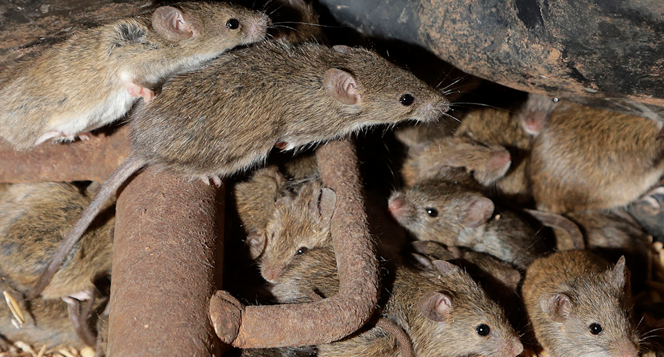 A swarm of mice shown up close.
