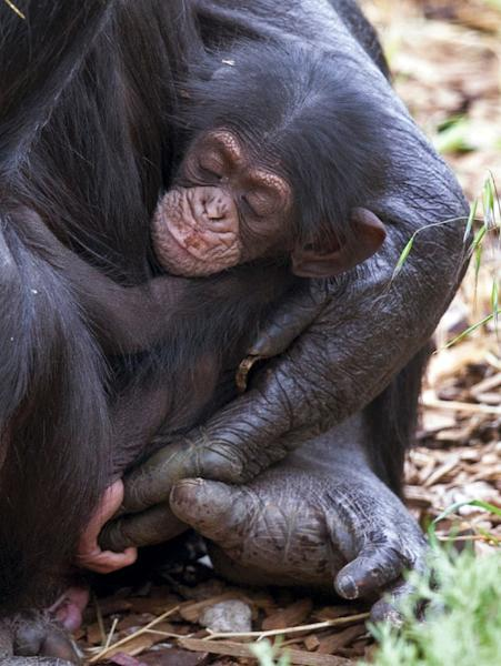 Baby chimp Boon, which means blessing, was orphaned when its mother Soona died shortly after he was born at Monarto Zoo, southeast of Adelaide, late last week (AFP Photo/David Mattner)
