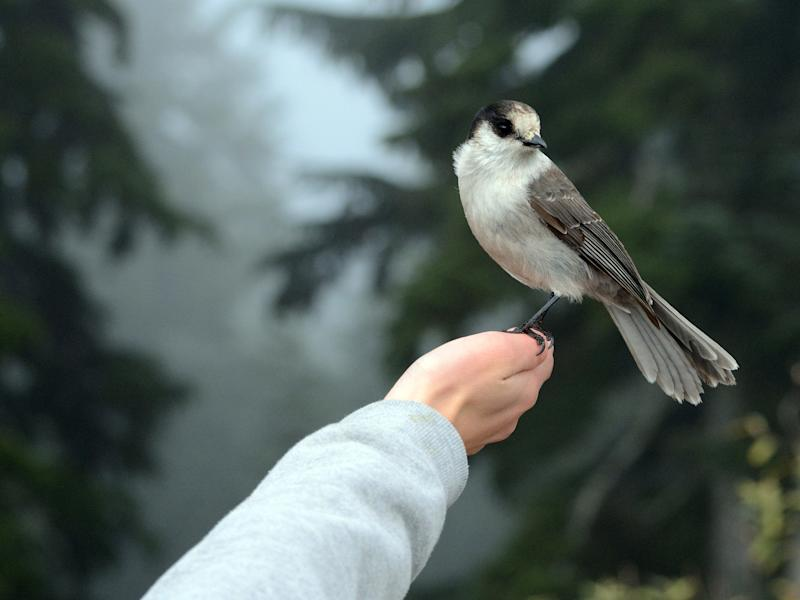 Cute Grey Jay landing on person's hand for food. Foggy conifer trees in the background. ; Shutterstock ID 1300011859; Purchase Order: rs.com