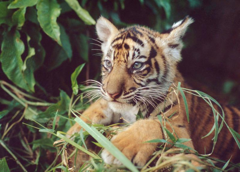 Young Sumatran tiger waits in the undergrowth, in Indonesia.