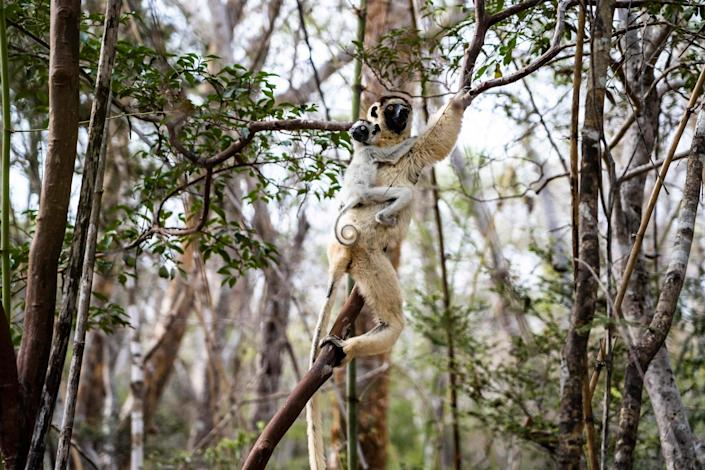 """Lemurs in Kirindy Forest, a private reserve along Madagascar's west coast that has suffered profound deforestation in recent years, on Nov. 23, 2019.<span class=""""copyright"""">Andy Isaacson</span>"""