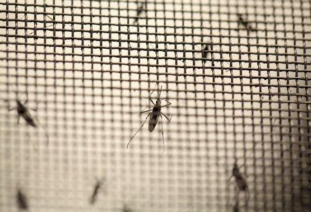 Aedes aegypti mosquitoes are seen at the Laboratory of Entomology and Ecology of the Dengue Branch of the U.S. Centers for Disease Control and Prevention in San Juan, March 6, 2016. Picture taken March 6, 2016. REUTERS/Alvin Baez