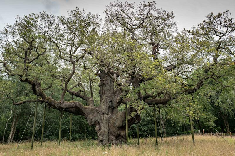 The Major Oak in Sherwood Forest has been damaged (Picture: SWNS)