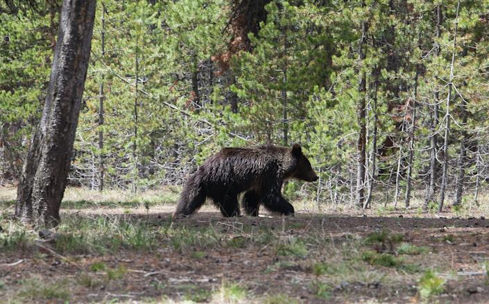 A juvenile grizzly bear wanders the grounds near the Fishing Village Visitor Center in Wyoming's Yellowstone National Park. (Photo: St. Louis Post-Dispatch via Getty Images)