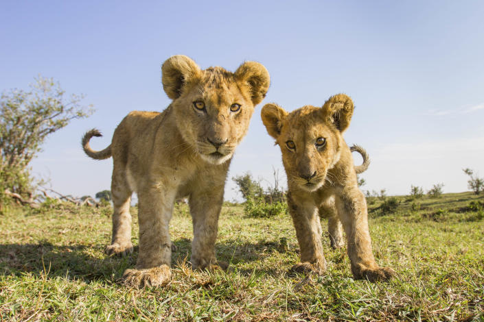 Two lion cubs check out a camera in the Liuwa Plain National Park in Zambia. (Photo: Will Burrard-Lucas/Caters News)