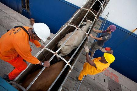 FILE PHOTO: Workers guide cattle up a ramp leading into a cargo ship for export, at Vila do Conde port in Barcarena, Para state, near the mouth of the Amazon river, October 9, 2013.  REUTERS/Paulo Santos/File Photo