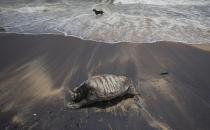 A stray dog stands amid the waves as decomposed remains of a turtle lies on a beach polluted following the sinking of a container ship that caught fire while transporting chemicals off Kapungoda, outskirts of Colombo, Sri Lanka, Monday, June 21, 2021. X-Press Pearl, a Singapore-flagged ship sank off on Thursday a month after catching fire, raising concerns about a possible environmental disaster. (AP Photo/Eranga Jayawardena)