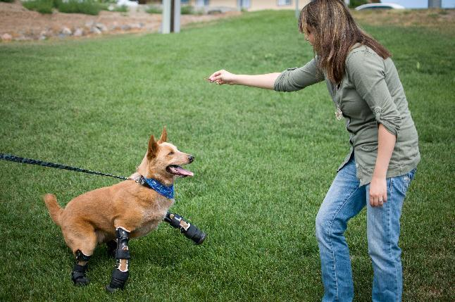 In this August 26, 2011photo provided by OrthoPets, shows Veterinarian Christie Pace playing with Naki'o, a red heeler mix breed, the first dog to receive four prosthetic limbs at Denver, Colo. Naki'o was found in the cellar of a Nebraska foreclosed home with all four legs and its tail frozen in puddles of water-turned-ice. What frostbite didn't do, a surgeon did, amputating all four legs and giving him four prosthetics. (AP Photo/OrthoPets, Lindsey Mladivinich)
