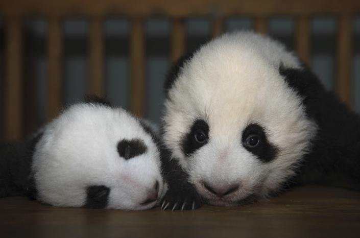 Giant panda cubs at Chengdu Research Base of Giant Panda Breeding in Chengdu, Sichuan province October 11, 2011. REUTERS/China Daily