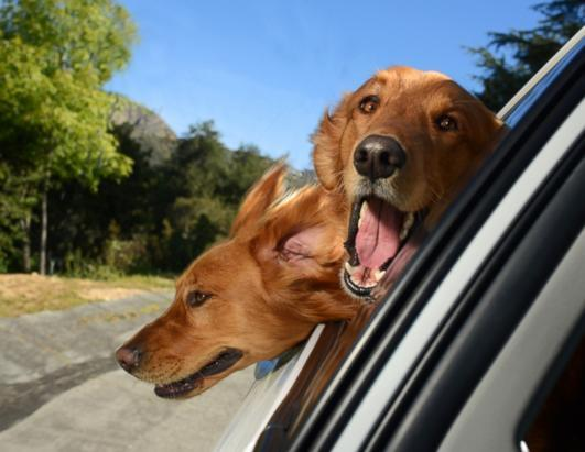 Two blonde Labradors peer out of a window in Los Angeles. The unusual shoot, which took place in Los Angeles, aimed to explore the joy experienced by pooches when a breeze hits their faces