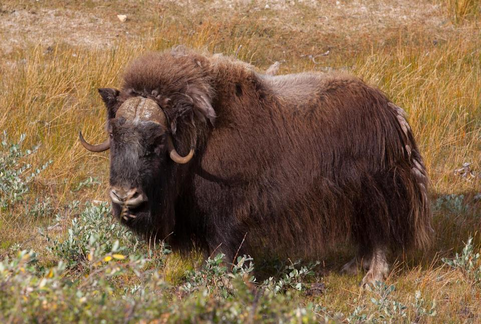 A Greenland musk ox - iStock