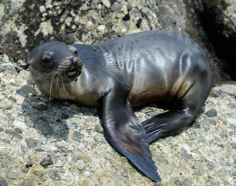 A stranded, malnourished sea lion pup is seen at White Point Park near the port of San Pedro in Los Angeles on April 5, 2013 (AFP/KEVORK DJANSEZIAN)