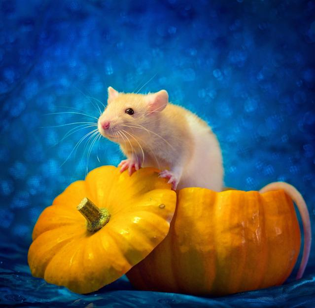 """<p>""""These pictures played a great role in finding these rats their forever home and also helped some people overcome their phobia, so I decided to carry on and keep working on the series."""" (Diane Ozdamar/Caters News) </p>"""