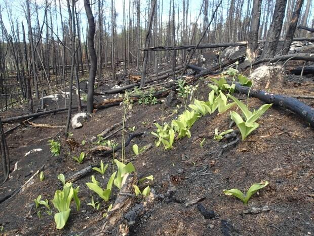 Wildfires have made some areas formerly inhabited by caribou useless to the animals which thrive in old-growth forests.