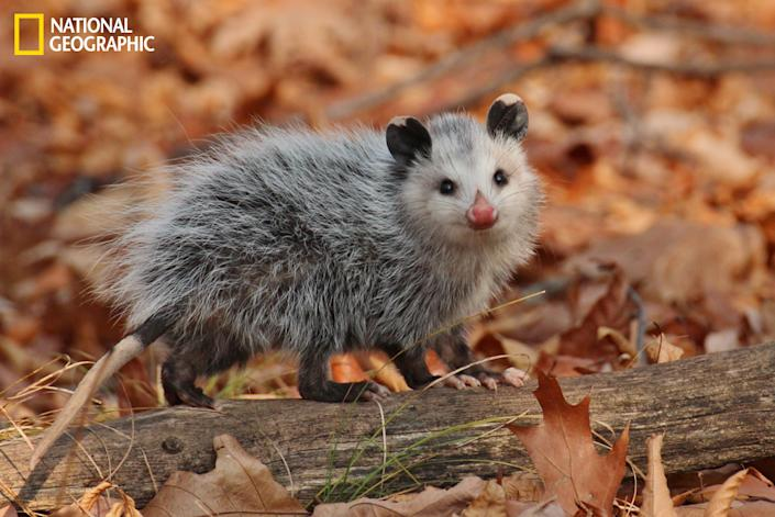 """I spotted this young opossum behind a tree some distance from the trail. The forest floor was covered by newly fallen, very crisp leaves. As I approached the youngster, she turned to look for the source of the advancing racket. She gazed straight at the loud oaf who disrupted her peace. She had the most spectacularly red nose. Did my stealthy approach cause her to smile? (Photo and caption Courtesy Madeline Poster / National Geographic Your Shot) <br> <br> <a href=""""http://ngm.nationalgeographic.com/your-shot/weekly-wrapper"""" rel=""""nofollow noopener"""" target=""""_blank"""" data-ylk=""""slk:Click here"""" class=""""link rapid-noclick-resp"""">Click here</a> for more photos from National Geographic Your Shot."""