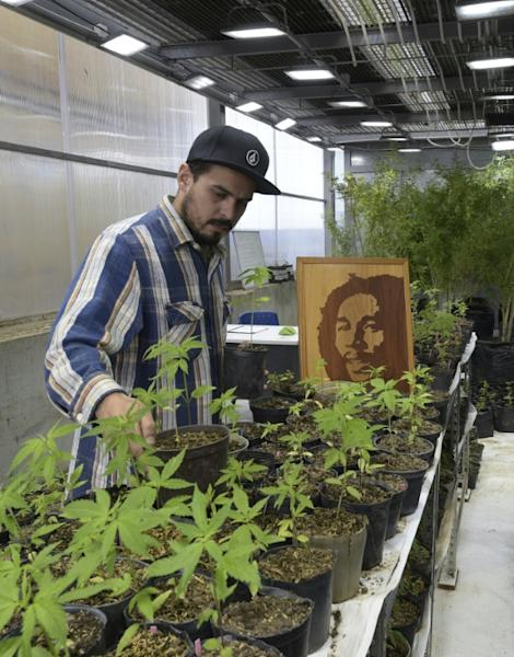 Marijuana production in Uruguay is not satisfying demand