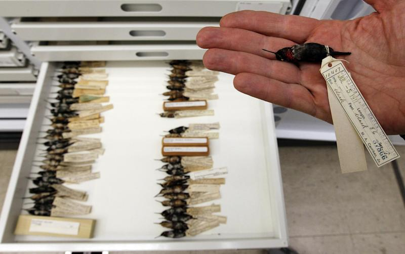 Doug Wechsler, director of the Visual Resources for Ornithology, shows a tray of hummingbirds from Columbia in the collection at the Academy of Natural Sciences Friday, March 23, 2012 in Philadelphia. The Academy is celebrating its bicentennial by offering the general public some rare behind-the-scenes tours of their some 18 million specimens for what's believed to be the first time in 200 years. (AP Photo/Alex Brandon)
