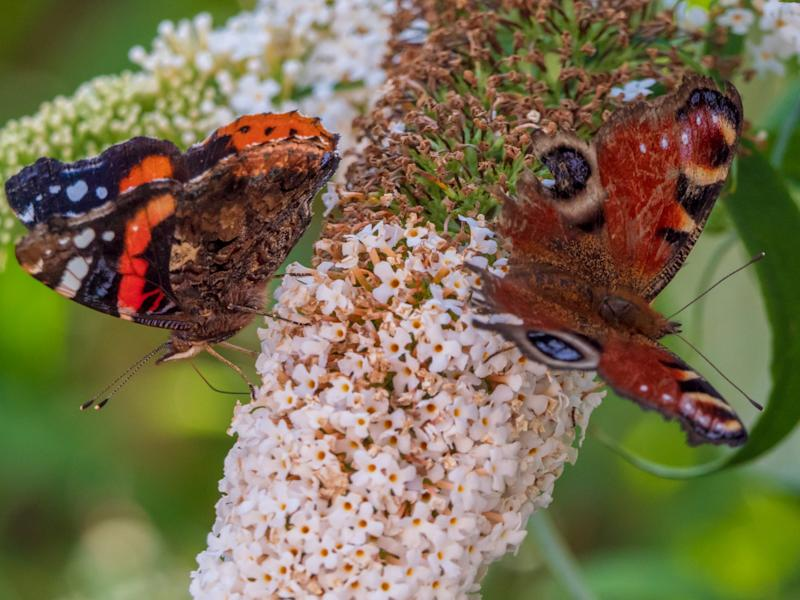 Scientists take temperatures of 4,000 butterflies to reveal climate and ecological threats