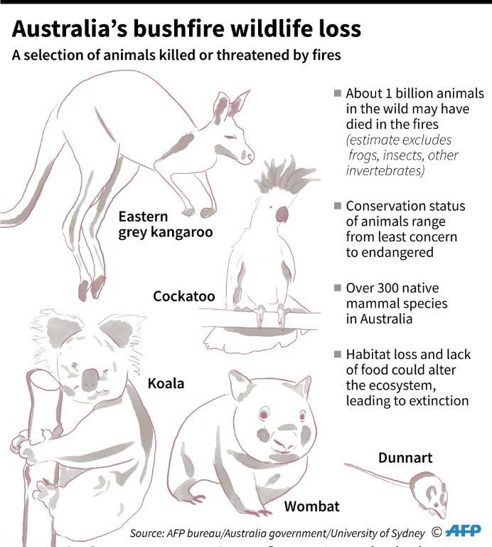 Selection of animals killed or threatened by catastrophic bushfires in Australia (AFP Photo/Gal ROMA)