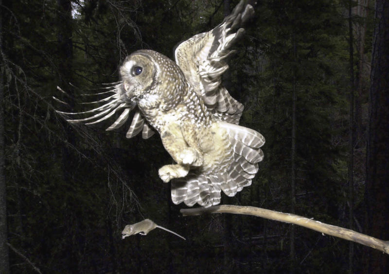 FILE -- In a May 8, 2003, file photo, a northern spotted owl named Obsidian by U.S. Forest Service employees flies after an elusive mouse jumping off the end of a stick in the Deschutes National Forest near Camp Sherman, Ore.  The Obama Administration's overhaul of the strategy for saving northern spotted owls has been completed, and it nearly doubles the amount of forest designated as habitat critical to the owl's survival four years ago by the Bush administration.(AP Photo/Don Ryan, file)
