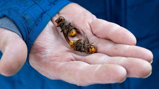PHOTO: A Washington state Department of Agriculture worker holds two of the dozens of Asian giant hornets vacuumed from a tree in Blaine, Wash., Oct. 24, 2020. (Elaine Thompson/AP, FILE)