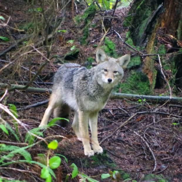 This coyote in Stanley Park was photographed on the Ravine Trail. (Alex Puttonen - image credit)