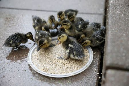Wild ducklings eat out of a feeder on a high rise apartment roofdeck on the Upper East Side section of New York
