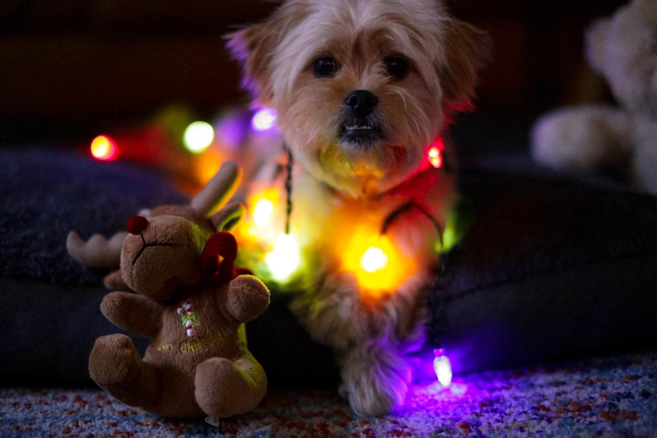 Pup Bowie Edwards twinkling for Christmas. Photo: Supplied/Elly