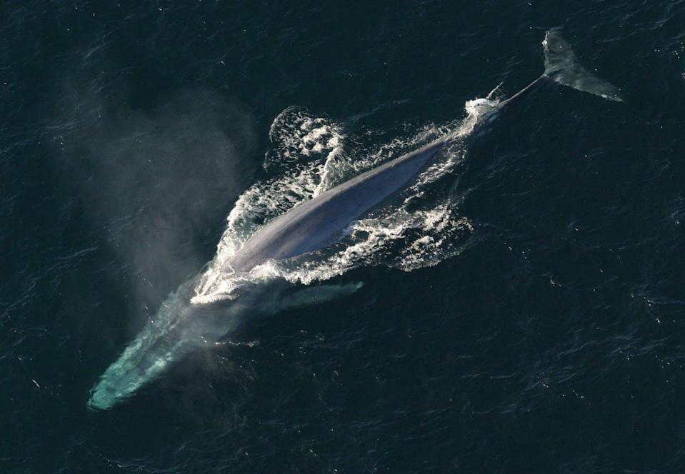 """<span class=""""caption"""">The blue whale is the largest animal in the world. But what is the smallest?</span> <span class=""""attribution""""><a class=""""link rapid-noclick-resp"""" href=""""https://commons.wikimedia.org/w/index.php?curid=17942391"""" rel=""""nofollow noopener"""" target=""""_blank"""" data-ylk=""""slk:NOAA Photo Library"""">NOAA Photo Library</a></span>"""