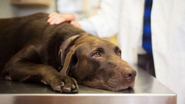 PHOTO: A labrador retriever is treated by a veterinarian in an undated stock image. (STOCK IMAGE/Thepalmer/Getty Images)