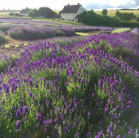 """<p>Set against the backdrop of the Cotswolds countryside, this breathtaking <a href=""""https://www.countryliving.com/uk/wildlife/countryside/a28318618/lavender-fields-visit-uk/"""" rel=""""nofollow noopener"""" target=""""_blank"""" data-ylk=""""slk:lavender field"""" class=""""link rapid-noclick-resp"""">lavender field</a> is the ultimate spot to visit this summer. Owned by a third-generation family, make sure you follow them on Instagram to watch as the lavender blooms. </p><p><a class=""""link rapid-noclick-resp"""" href=""""https://www.cotswoldlavender.co.uk/"""" rel=""""nofollow noopener"""" target=""""_blank"""" data-ylk=""""slk:MORE INFO"""">MORE INFO</a></p><p><a href=""""https://www.instagram.com/p/CCQIxWlJ3nT/"""" rel=""""nofollow noopener"""" target=""""_blank"""" data-ylk=""""slk:See the original post on Instagram"""" class=""""link rapid-noclick-resp"""">See the original post on Instagram</a></p>"""