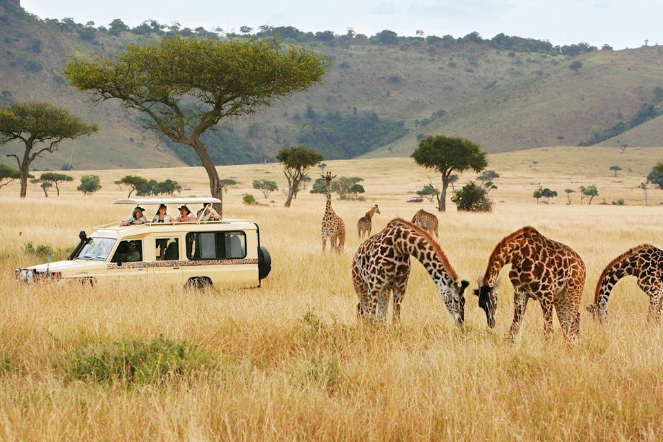 A Micato Safaris truck surrounded by giraffes