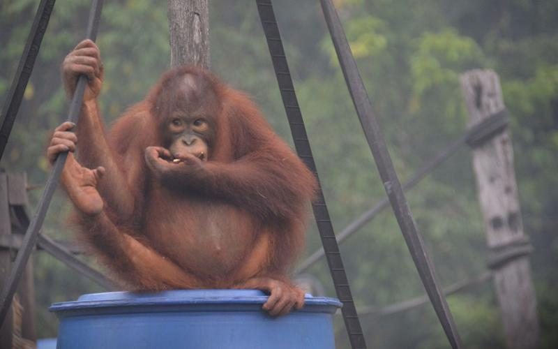 An orangutan sits in the toxic haze blanketing Kalimantan, Indonesia - AFP