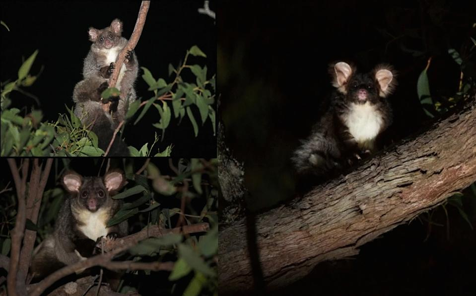 Greater gliders from the northern (top left), central (bottom left) and southern (right) groups identified through DArTseq showing morphological differences that are typical of our dataset. Greater gliders of the type shown on the right have several pelage colour morphs including white and light grey. Photos by Denise McGregor (top left) and Jasmine Vink (bottom left and right). http://creativecommons.org/licenses/by/4.0/.