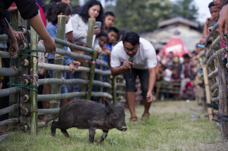 In this Friday, Oct. 25, 2019, photo, a competitor tries to attract a piglet during a pig calling competition during Toba Pig and Pork Festival, in Muara, North Sumatra, Indonesia. Christian residents in Muslim-majority Indonesia's remote Lake Toba region have launched a new festival celebrating pigs that they say is a response to efforts to promote halal tourism in the area. The festival features competitions in barbecuing, pig calling and pig catching as well as live music and other entertainment that organizers say are parts of the culture of the community that lives in the area. (AP Photo/Binsar Bakkara)